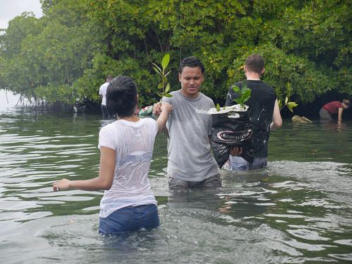 Outgoing Mangroves planting